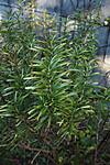 Rosemary02