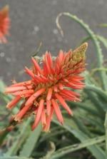 Aloe02